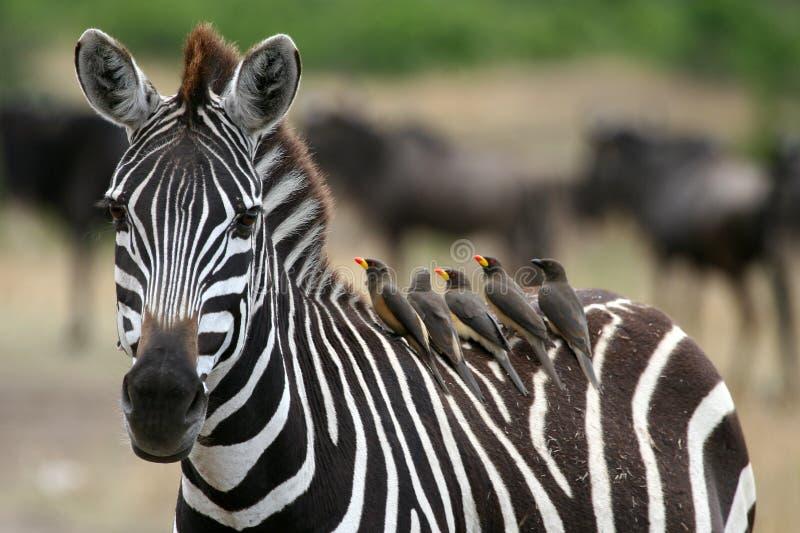 Zebra en Oxpeckers stock afbeeldingen