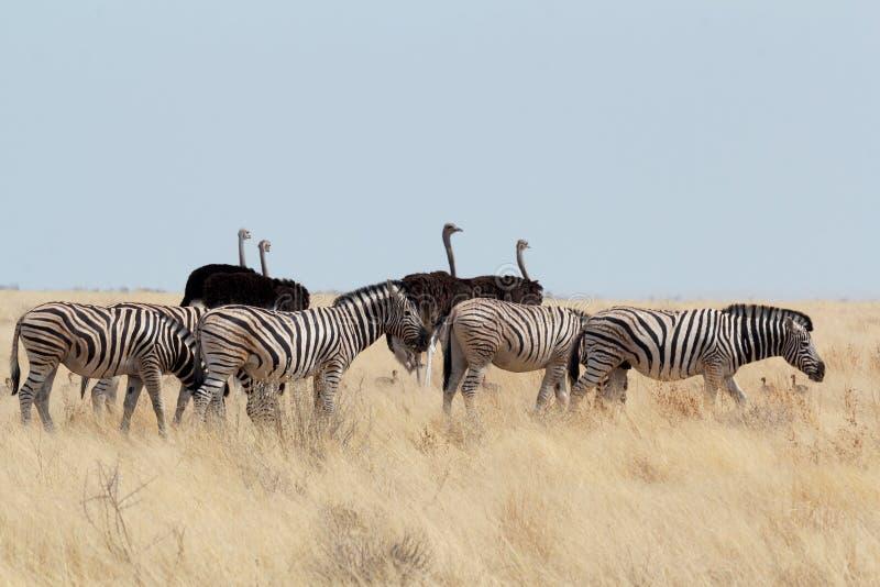 Zebra en struisvogel in Afrikaanse struik stock fotografie