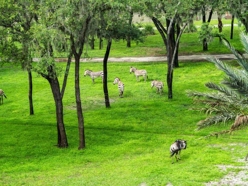 Zebra en Wildebeest royalty-vrije stock afbeeldingen