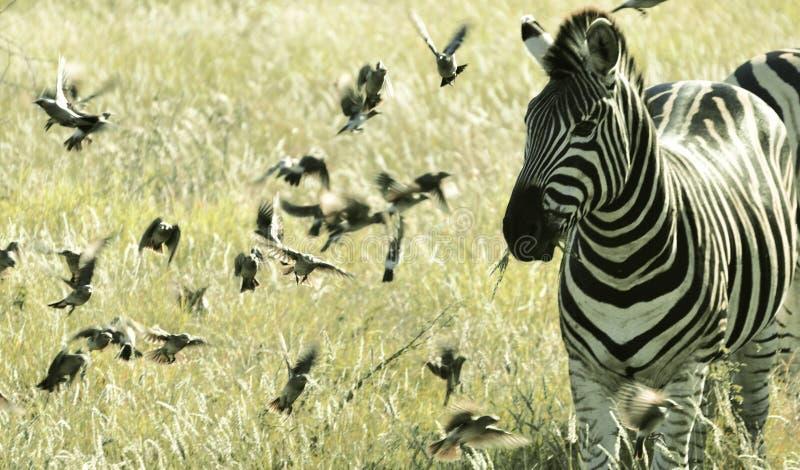 Zebra entre pássaros de voo pequenos, parque nacional África do Sul de Kruger foto de stock