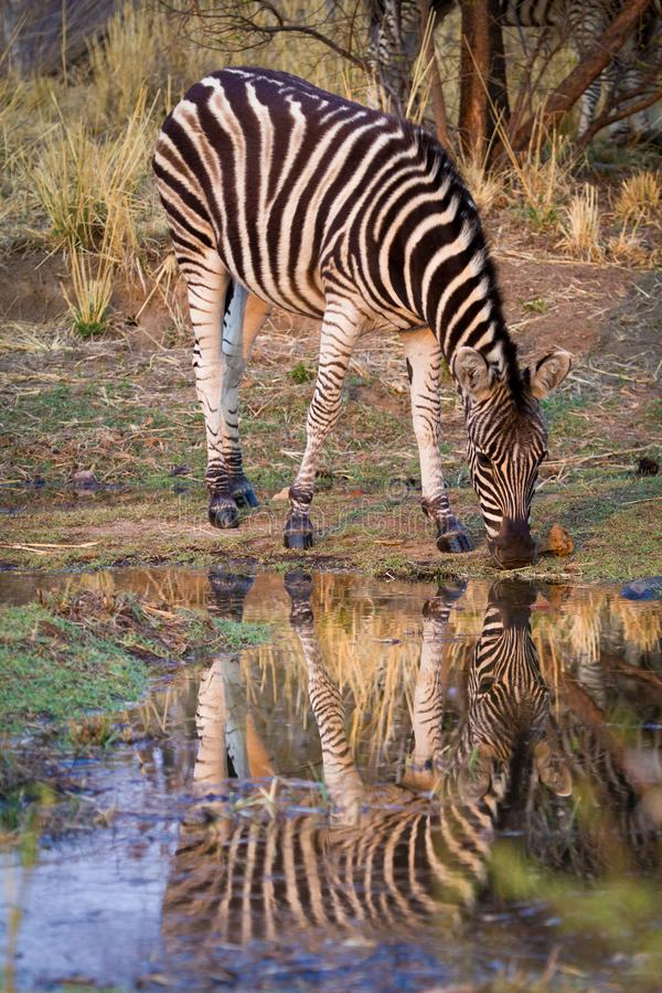 A zebra Equus Quagga drinking water at a water hole stock photography