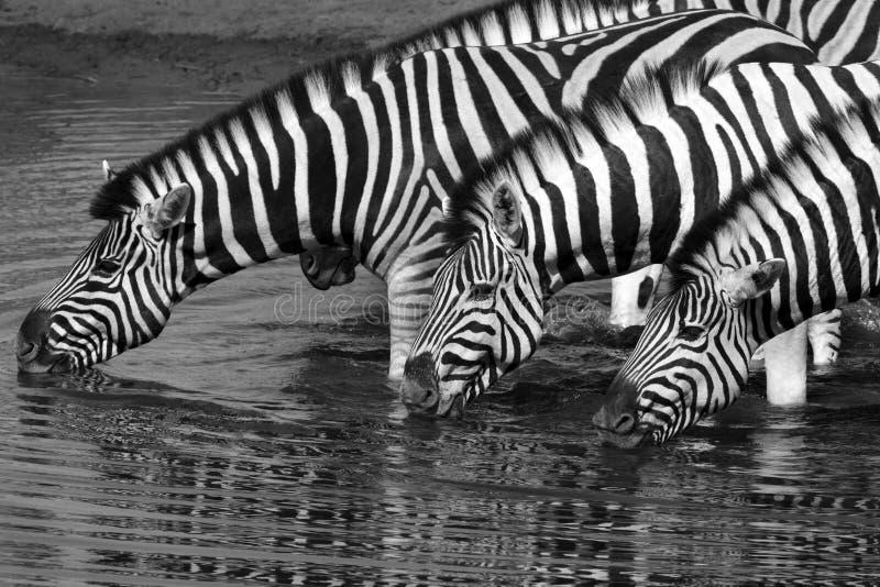 Zebra (equus quagga) - Etosha National Park - Namibia. Zebra (equus quagga) drinking at a waterhole in Etosha National Park in Namibia royalty free stock image