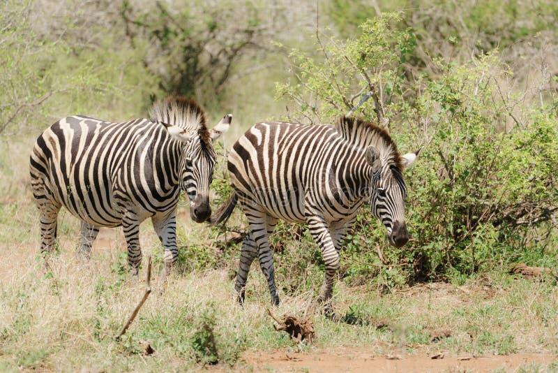 Zebra Equus quagga pair royalty free stock image