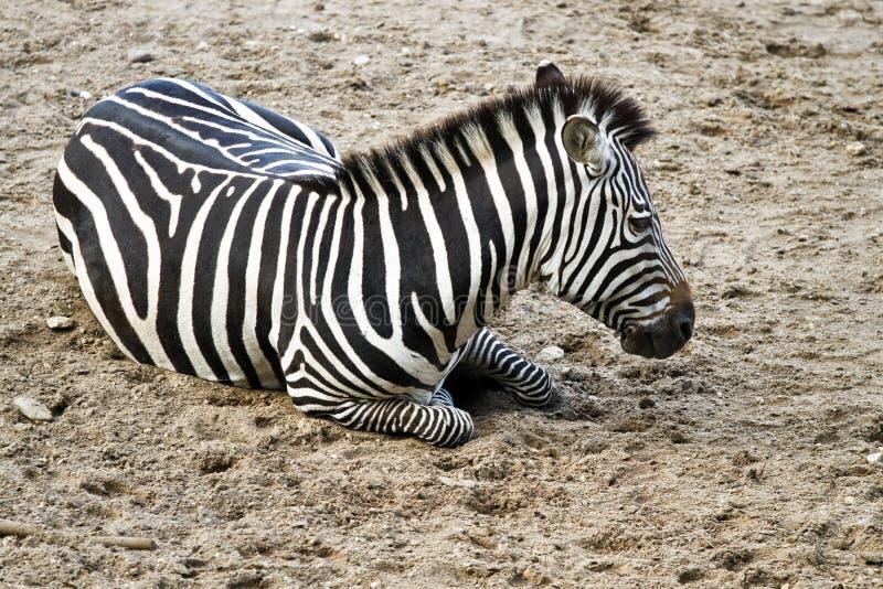 Zebra or Equus quagga resting. On sand stock photos