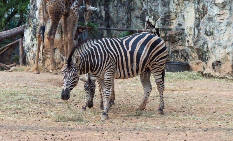 A zebra está relaxando no parque verde fotos de stock