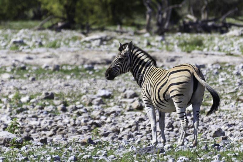 Zebra in etosha royalty-vrije stock foto's