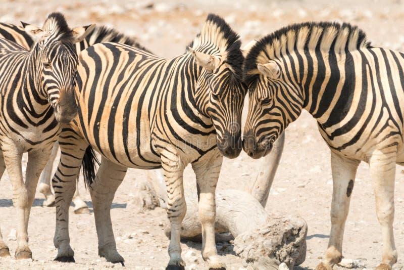 Zebra in Etosha National Park, Namibia stock photo