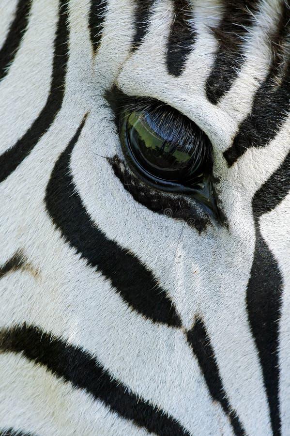 Zebra eye. Close-up of the eye of a Plains (Burchell's) Zebra (Equus quagga), South Africa