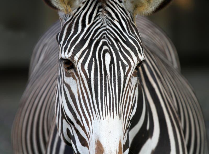 Zebra face. Frontal, close up view of a Zebra face stock photos