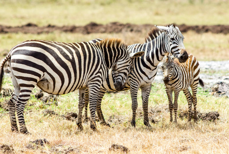 Zebra family royalty free stock images