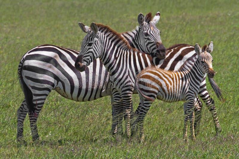 Zebra Family. Plains Zebra (Equus quagga) Family huddled together in the mid day heat of Serengeti National Park, Tanzania, Africa