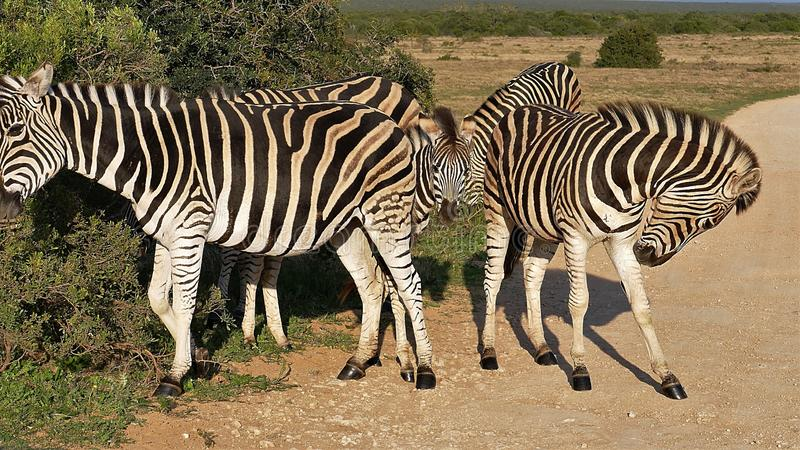 Zebra Family on side of the road stock photo