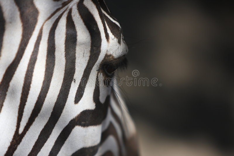Download Zebra feature stock image. Image of drink, patterns, image - 7373137