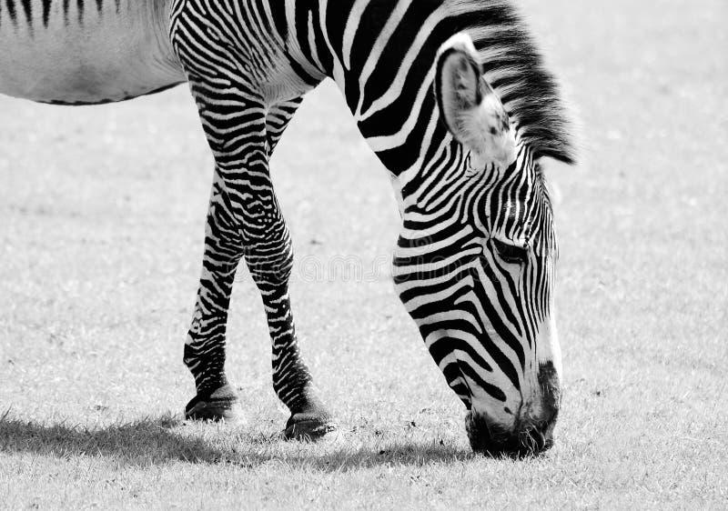 Zebra feeding. Black and white photo of Zebra feeding royalty free stock image
