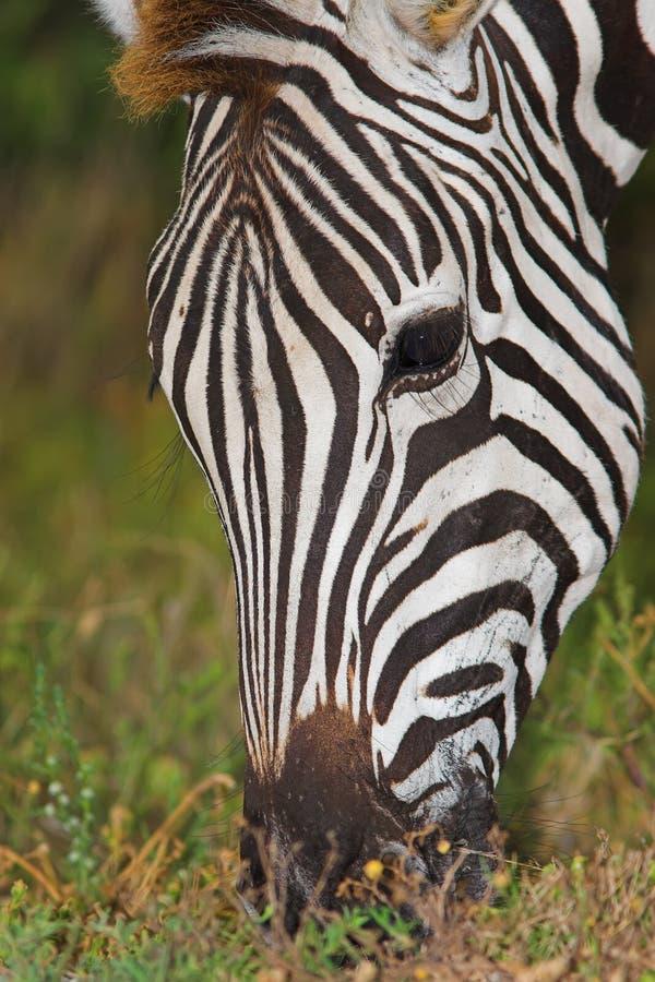 Zebra Feeding. Close up of a Zebra feeding on grass stock images