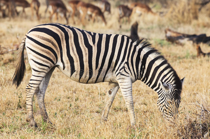 Zebra feeding. African zebra feeding in the natural reserve park. Blur impalas on the background royalty free stock images