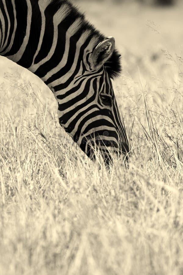 Zebra feeding. A monocrome of a zebra feeding in a field of grass stock photo