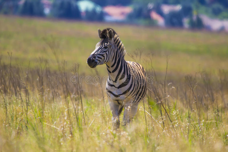 Zebra Feeding. Zebra face closeup while feeding stock photos