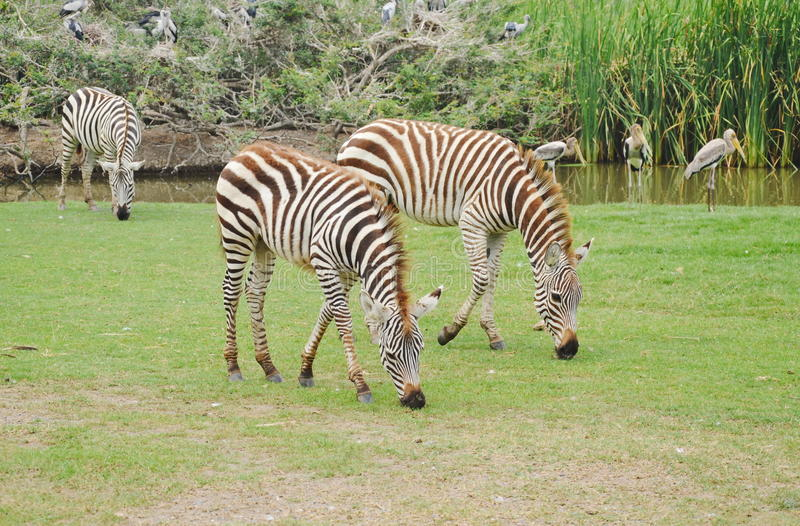 Zebra feeding grass on ground in field. Zebra feeding grass on ground in the field stock photo