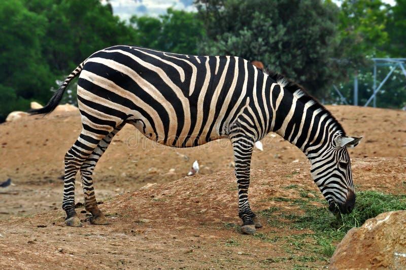 Zebra feeding on grass. Wild animal at the zoo stock photography