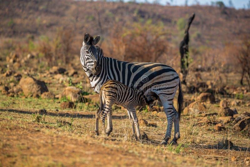 Zebra feeding her baby. A zebra is feeding her baby Pilanesberg National Park, South Africa stock photo