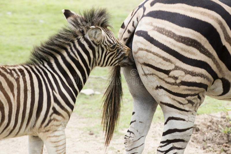 Zebra feeding its foal. In the park royalty free stock photo