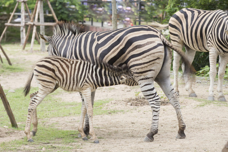 Zebra feeding its foal. In the park royalty free stock photos