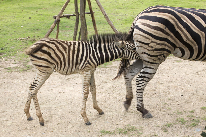 Zebra feeding its foal. In the park royalty free stock images