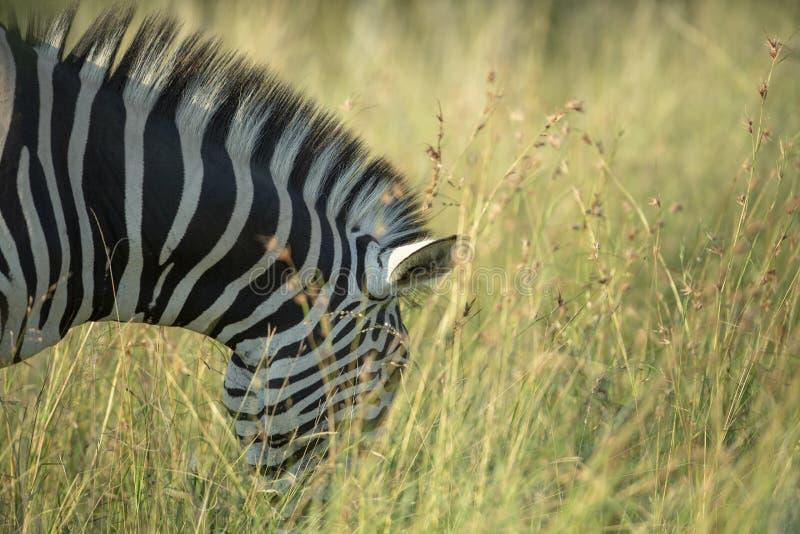 A zebra feeding in luscious grass. A zebra feeding in the long grass of summer stock photo