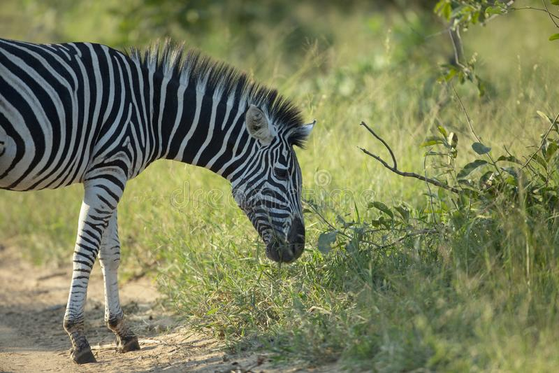 A zebra feeding in luscious grass. A zebra feeding in the long grass of summer royalty free stock photo