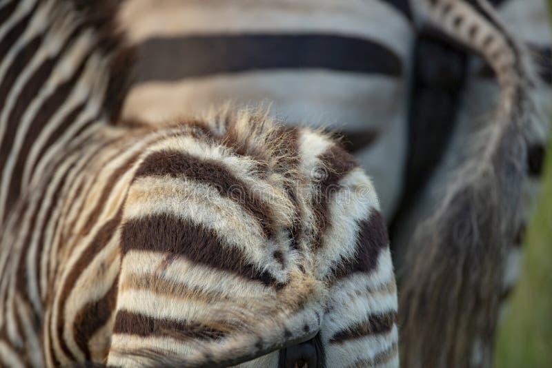 A zebra feeding in luscious grass. A zebra feeding in the long grass of summer royalty free stock photos