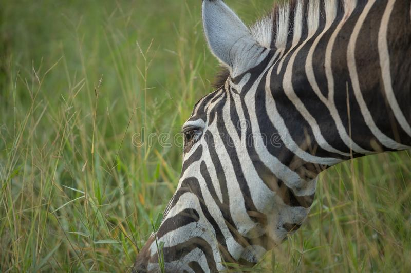 A zebra feeding in luscious grass. A zebra feeding in the long grass of summer royalty free stock photography