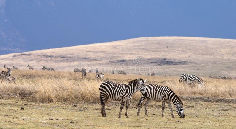 Zebra feeding with mountain in background. And numerous wildlife. Serengeti, Tanzania, Africa stock photos