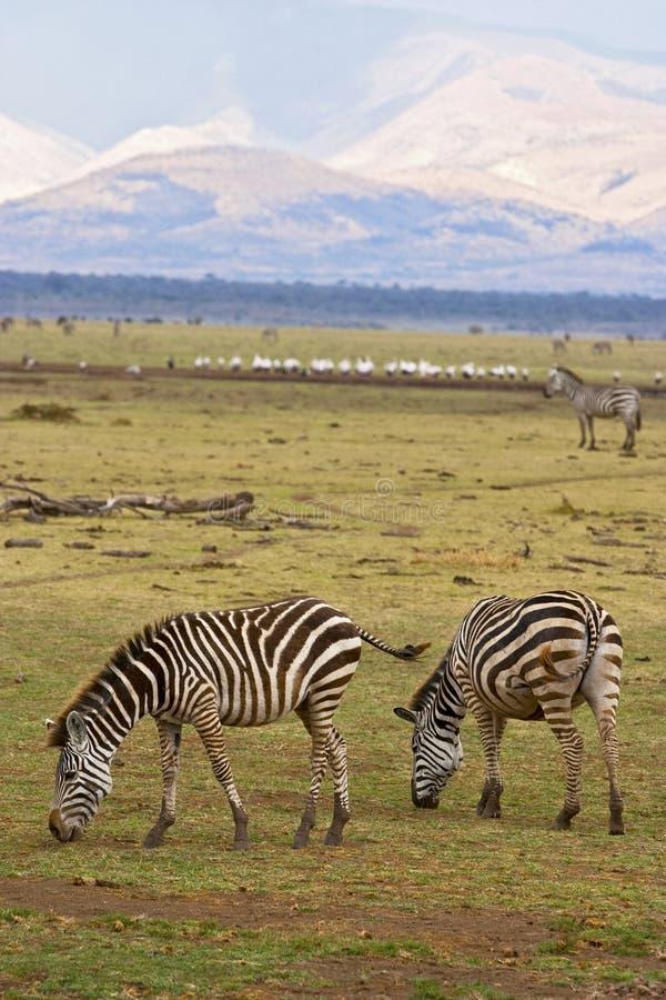 Zebra feeding with mountain in background. And numerous wildlife. Serengeti, Tanzania, Africa royalty free stock photography