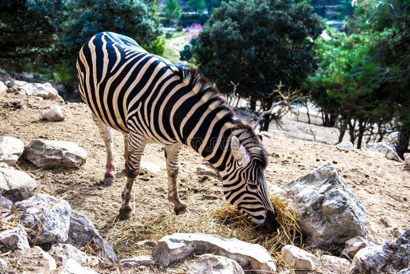 Zebra feeding outdoors. Zebra feeding dry grass outdoors royalty free stock photo