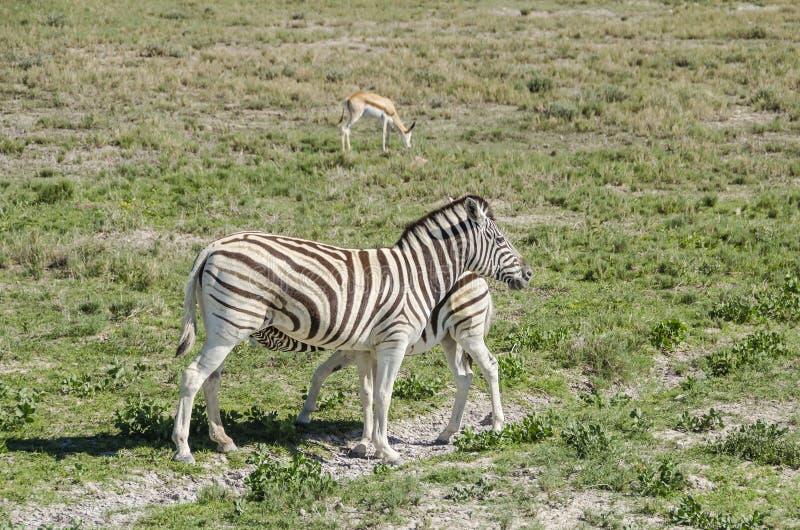 Zebra feeding. Plains zebra (Equus quagga) feeding its pup in Etosha national park, Namibia royalty free stock photos