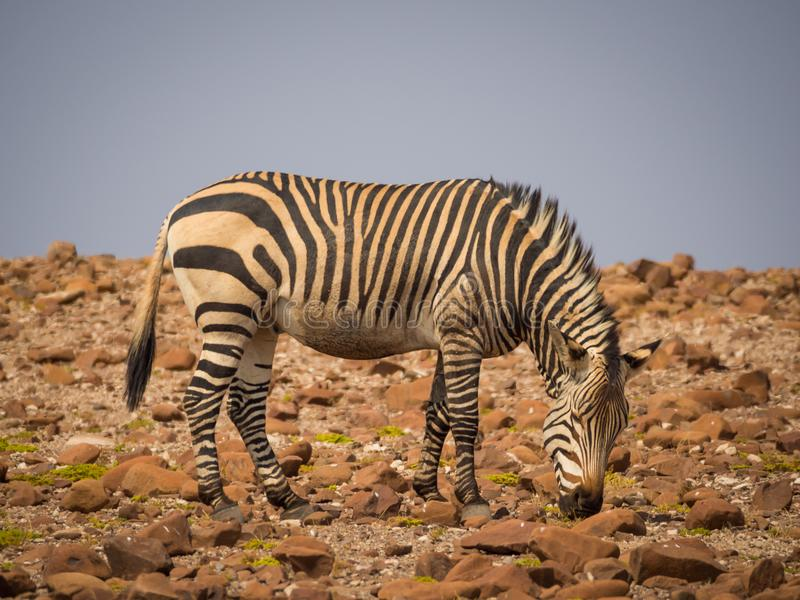 Zebra feeding in rocky surroundings during afternoon light, Palmwag Concession, Namibia, Africa.  royalty free stock photos