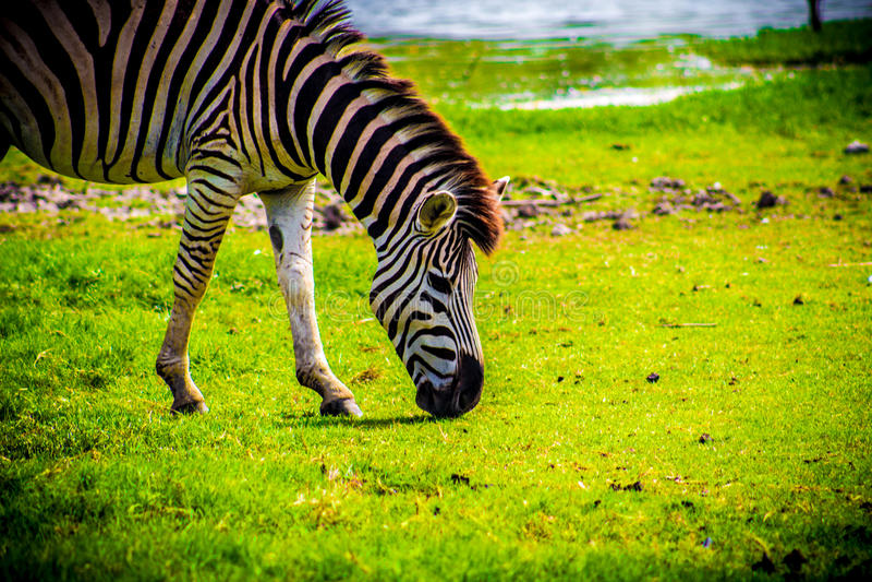 Zebra. Feeding time royalty free stock photos