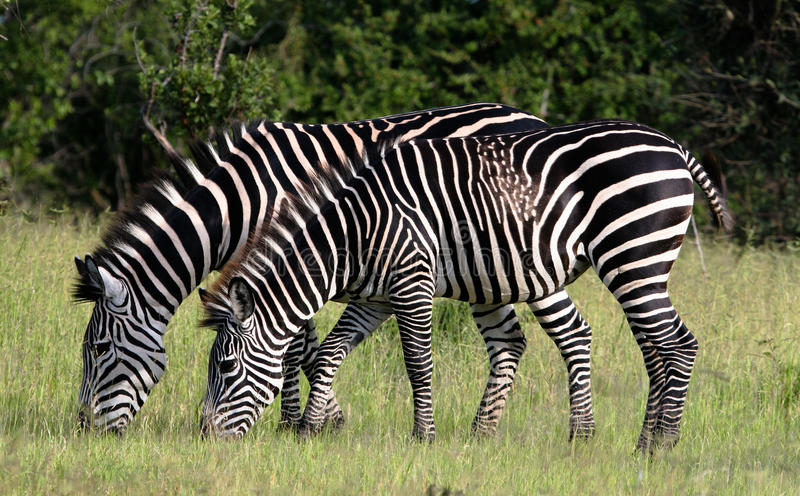 Zebra feeding. Two zebra feeding but one with unique patterns royalty free stock photography