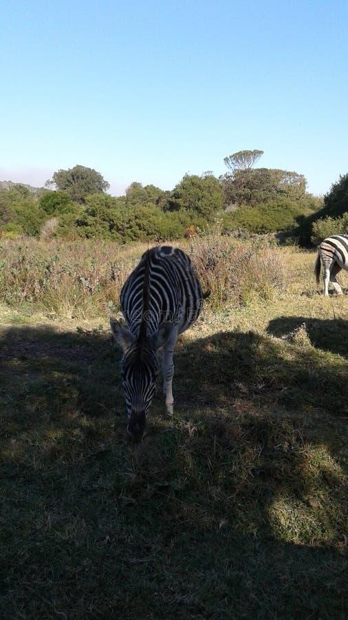Zebra feeding. In shade royalty free stock images