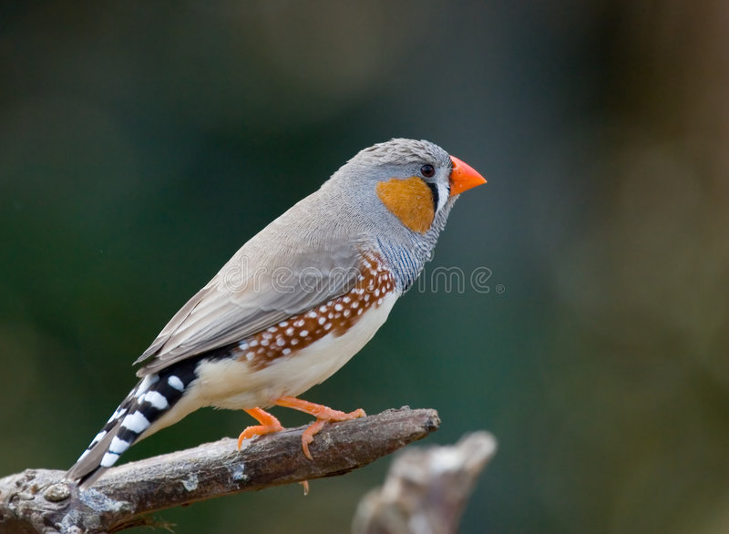Download Zebra Finch Royalty Free Stock Image - Image: 2256906