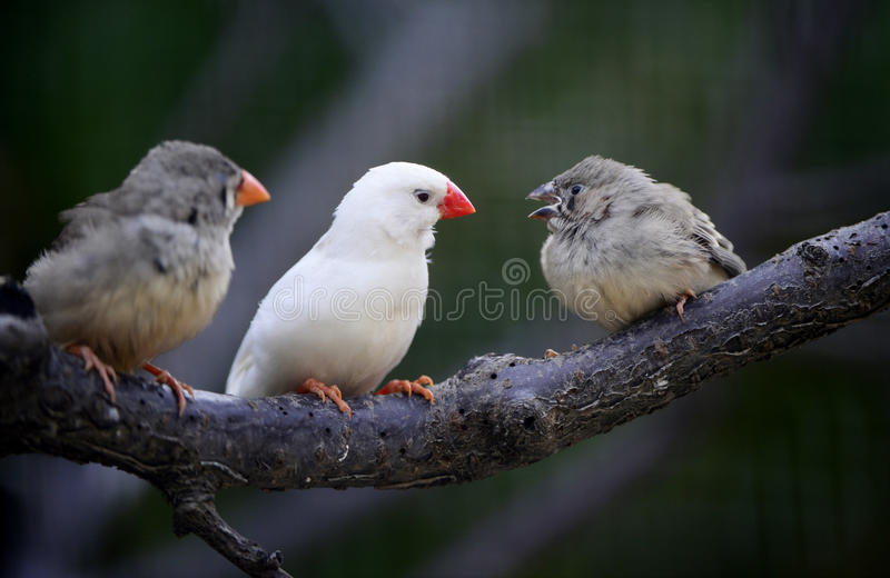 Download Zebra Finch Stock Photography - Image: 25130712