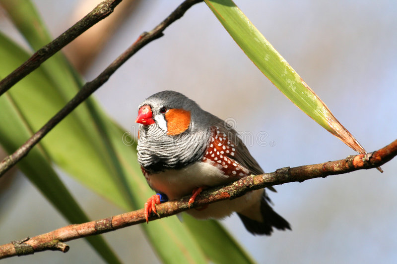 Download Zebra finch stock image. Image of zealand, endemic, guttata - 866621