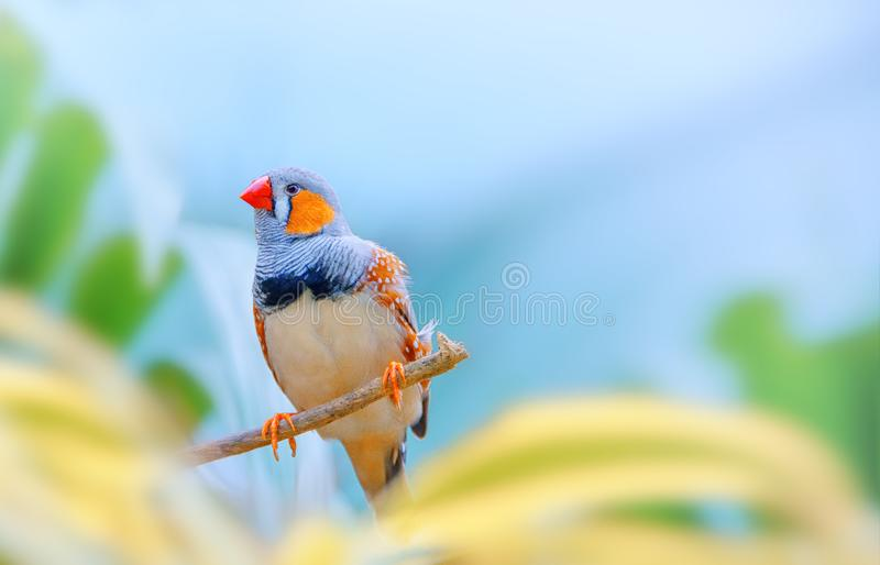 Zebra finch on a branch. Exotic bird against a beautiful colorful forest and sky. royalty free stock photos