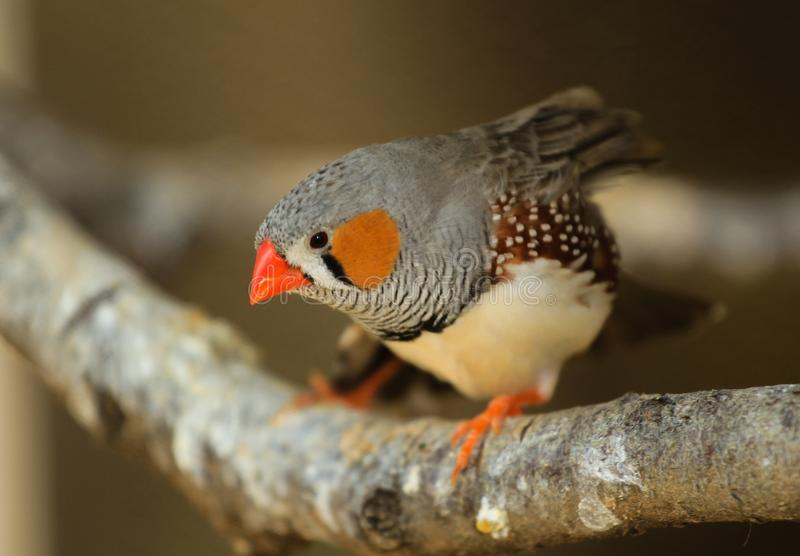 The zebra finch Taeniopygia guttata - portrait of a male royalty free stock image