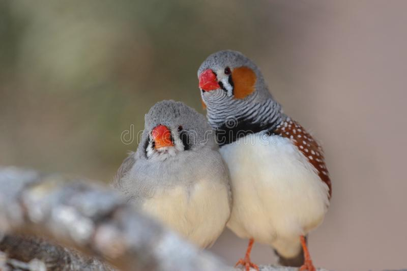 The zebra finch Taeniopygia guttata - pair royalty free stock image