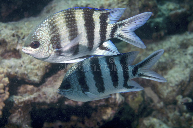 Zebra fish stock photo