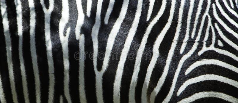 Zebra-Flanke stockfotos