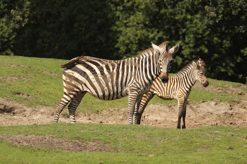 Zebra with foal. Animals: Mother zebra with her foal standing in the field stock photos