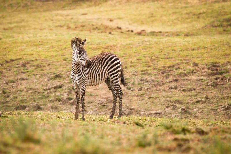 Download Zebra foal stock photo. Image of mammal, plain, small - 17925696